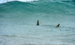 hammerhead shark cruising Canaveral shoals